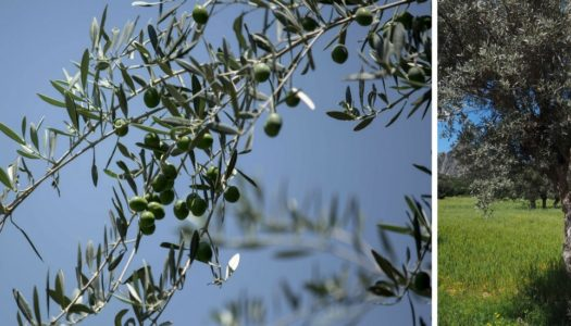 Your own table olives – Part 2