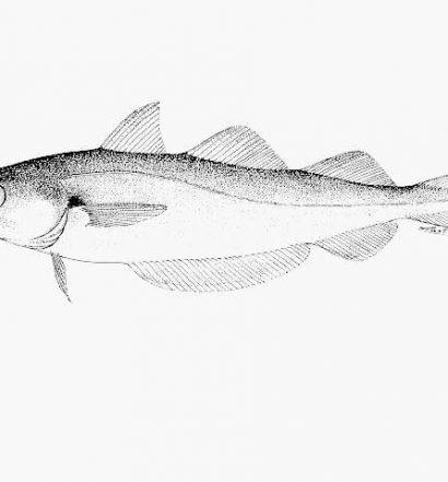 Merlangius merlangus fish sketch